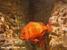 istanbul-akvaryumu-03-bantli-mercan-redbanded-seabream-pagrus-auriga