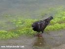 Şile hayvan resimleri - Güvercin