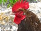 Şile hayvan resimleri - horoz