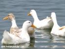 Şile, hayvanlar alemi - ördekler