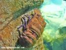 istanbul-akvaryumu-16-karavida-slipper-lobster-scyllarus-latus