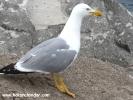 Şile hayvan resimleri - martı