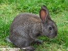 Şile, hayvanlar alemi - tavşan